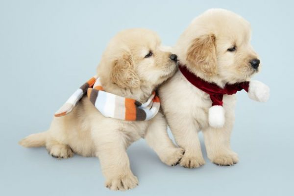 Two Golden Retriever puppies wearing scarves